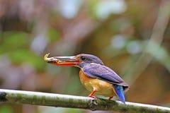 Female Blue-banded Kingfisher Stock Images