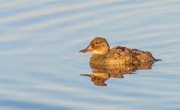 Female Blue-Billed Duck Stock Image