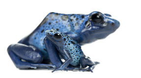 Female Blue and Black Poison Dart Frog with young Stock Photography