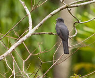 A female Blue-crowned Trogon Royalty Free Stock Photos
