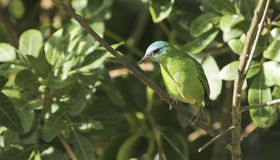 Female Blue Dacnis Stock Images