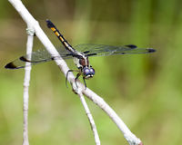 Female Blue Dasher Dragonfly - Pachydiplax longipennis Royalty Free Stock Images