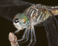 Female Blue Dasher/Pachydiplax longipennis Royalty Free Stock Images
