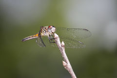 Female Blue Dasher Stock Photo