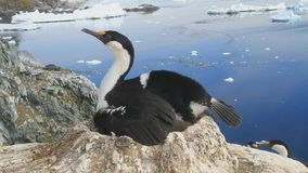 female blue-eyed cormorant Antarctic is sitting on a nest with chicks in the colony stock footage