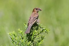 Female Blue Grosbeak (Passerina caerulea) Stock Images