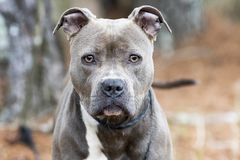 Female blue nose American Pitbull Terrier staring at camera royalty free stock images