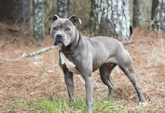 Female blue nose American Pitbull Terrier staring at camera stock image