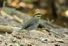 Female Blue Pitta (Pitta cyanea) Stock Photo