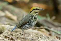 Female Blue Pitta (Pitta cyanea) Stock Images