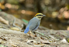 Female Blue Pitta (Pitta cyanea) Royalty Free Stock Image