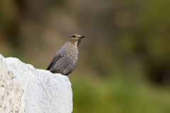 Female Blue Rock Thrush Stock Photos