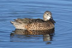 Female Blue-winged Teal Royalty Free Stock Image