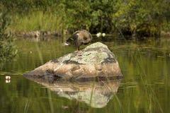 Female blue-winged teal sitting on rock in lake, Adirondack Moun Stock Image
