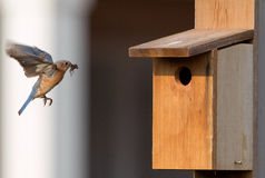 Female bluebird arriving birdhouse with food Stock Images