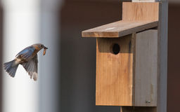Female bluebird arriving birdhouse with food Stock Image