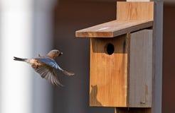Female bluebird arriving at birdhouse Stock Photo
