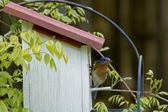 Female Bluebird checks on her babies. Female Bluebird sits near her nest Royalty Free Stock Images