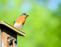 Female bluebird and curious baby bird look around stock image
