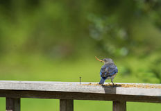A female Bluebird eating mealworms. Stock Photos