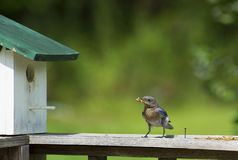 A female Bluebird eating mealworms. Stock Image