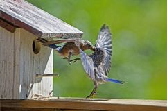 A female Bluebird feeds her fledgling baby. stock photos
