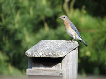 Female Bluebird on House Royalty Free Stock Images