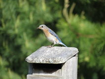 Female Bluebird on House Stock Photo