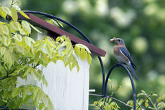 Female Bluebird with insect in her mouth. Stock Images