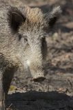 Female Boar Portrait 1 Royalty Free Stock Images
