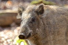 Female Boar Portrait 1 Royalty Free Stock Photo