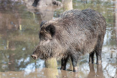 Female boar Royalty Free Stock Photo