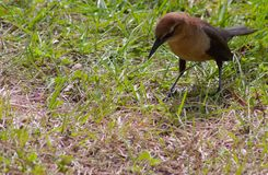 Female boat-tailed grackle stock photography