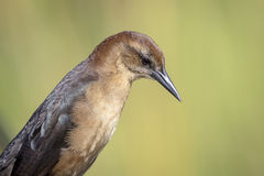 Female Boat Tailed Grackle at John Chestnut Sr. Park Royalty Free Stock Photo