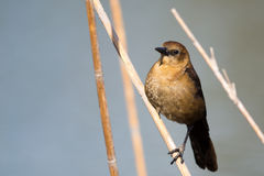 Female Boat-Tailed Grackle (Quiscalus major) Royalty Free Stock Photos