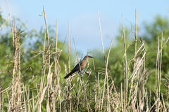 Female Boat-tailed Grackle Royalty Free Stock Photos