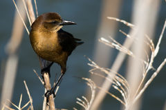 Boat-Tailed Grackle (Quiscalus major) Female Royalty Free Stock Photo