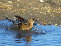 Female Boat-tailed Grackle Royalty Free Stock Images