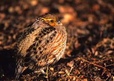 Female Bobwhite Quail. A female bobwhite quail on leaf strewn ground Stock Photo