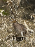 Female Bobwhite Quail Royalty Free Stock Image