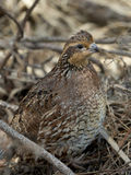 Female Bobwhite Quail Stock Photography