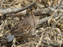 Female Bobwhite Quail Royalty Free Stock Images
