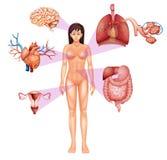 Female body. Illustration of the female body on a white background Stock Image