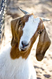 Female boer goat. Looks curiously royalty free stock images