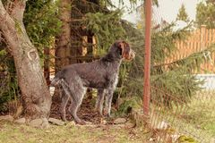 Female bohemian wire looking out for her owner or some people come on road. Adorable puppy stands at attention near by fence.  stock photos