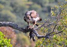 Female bonelli's eagle perched on a branch. Royalty Free Stock Images