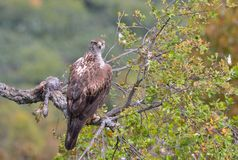 Female bonelli's eagle perched on a branch. Stock Images