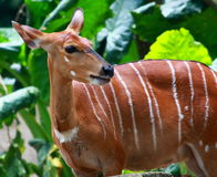 A Female Bongo Stock Image