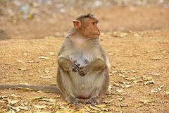 Female Bonnet macaque Royalty Free Stock Photo