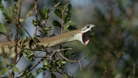Female Boomslang snake in Botswana Stock Images
